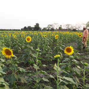 sunflower production